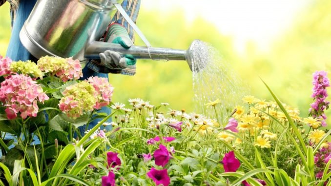 person watering the flowers in the garden