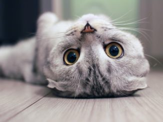 Scottish Fold cat lying on the back