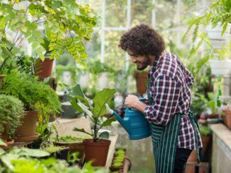 Male gardener watering plants inside greenhouse