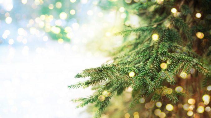 closeup of a pine tree