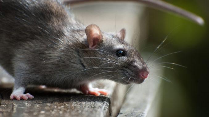 rat pest rodent